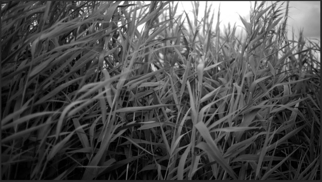 zwart wit foto van riet