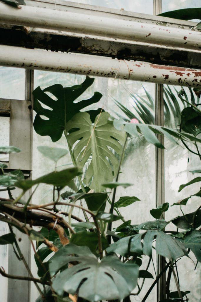 monstera in botanische tuin poznan