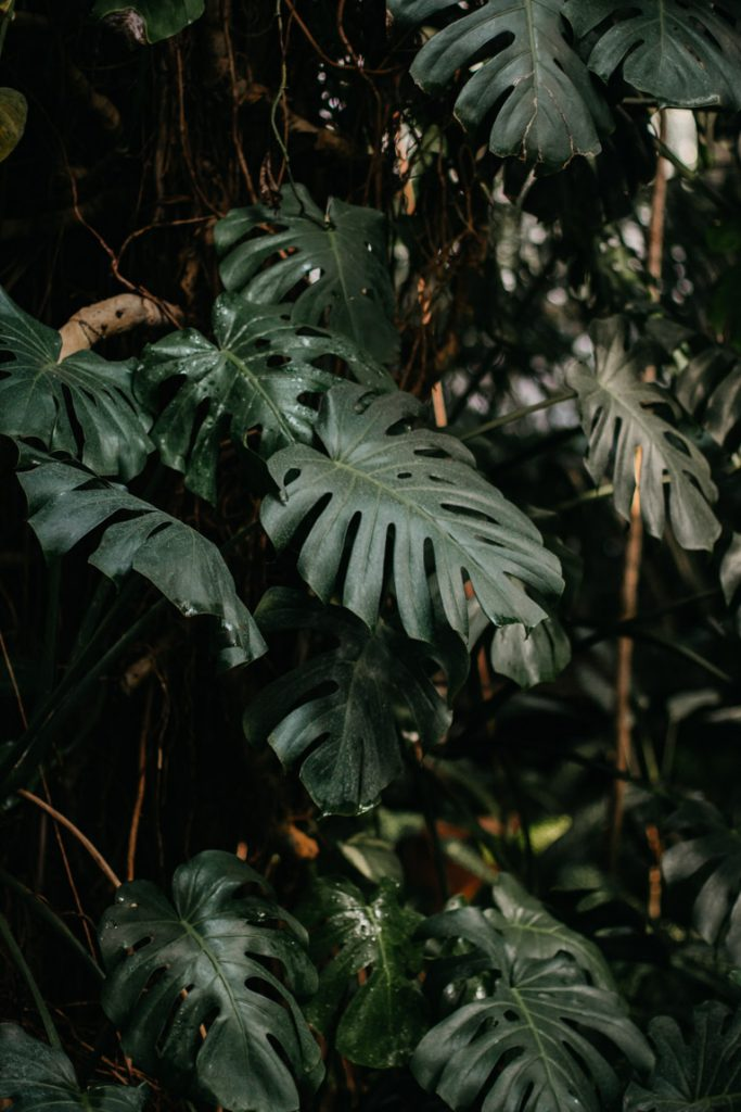monstera plant in palmhuis poznan