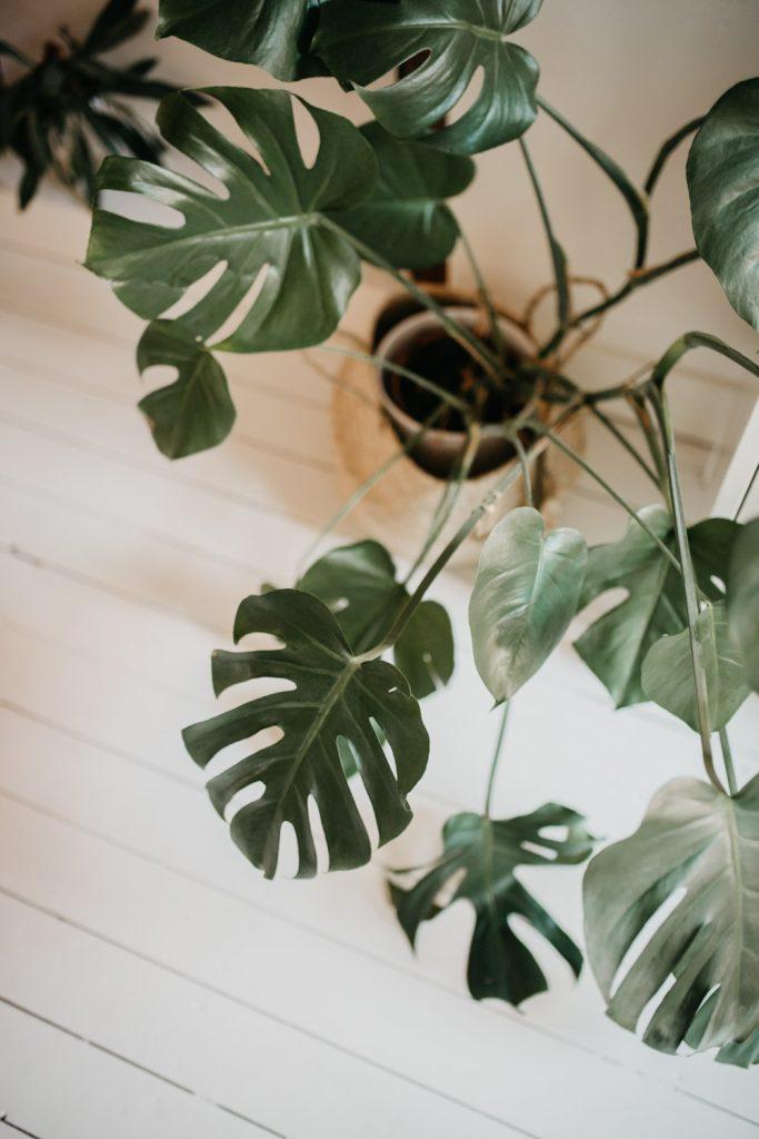 Huisplant monstera in huis