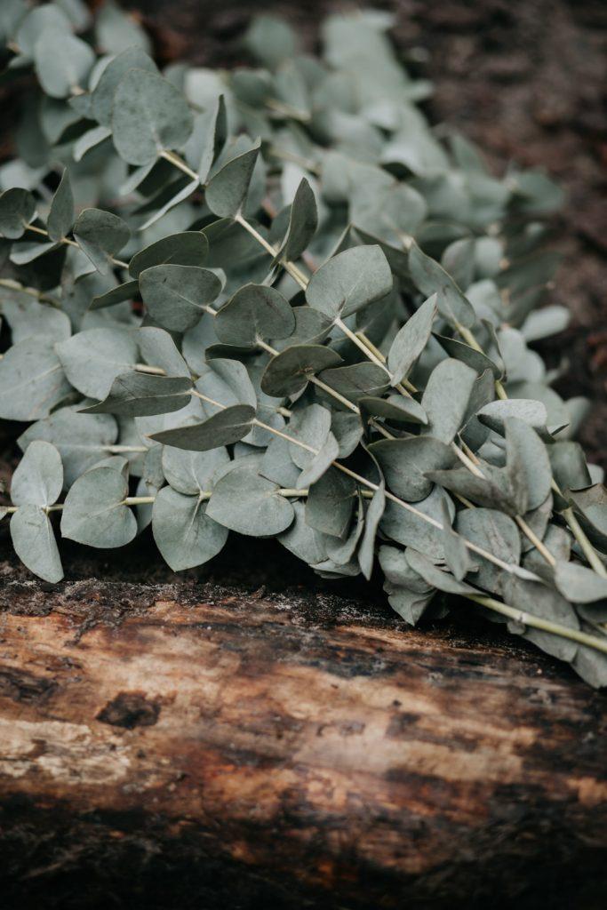 detail bos eucalyptus