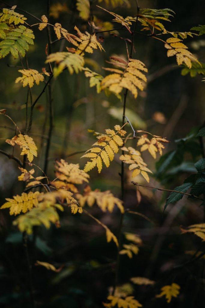 detail gele herfstbladeren